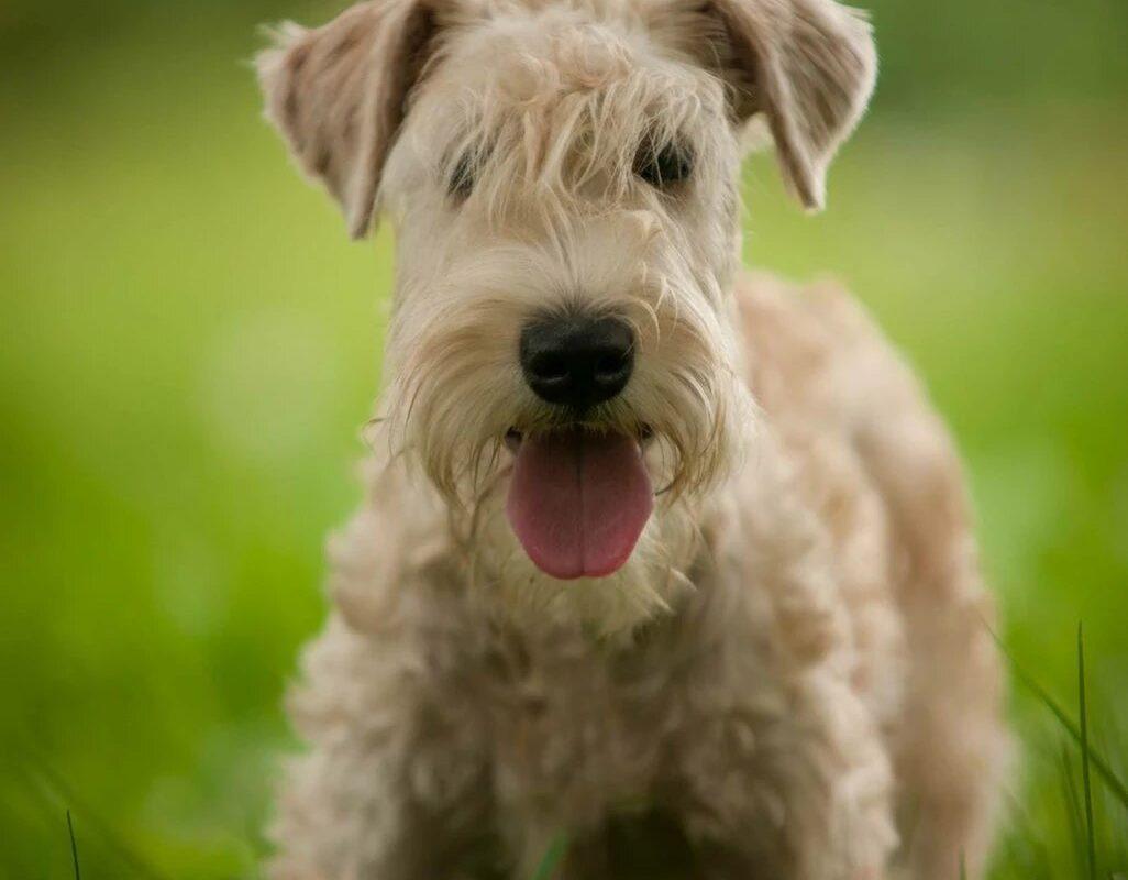 Гипоаллергенные собаки – миф или реальность?