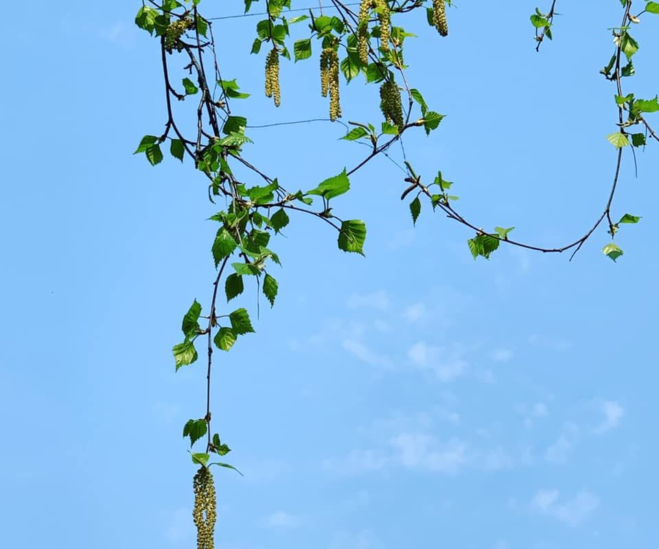 Пыление деревьев в апреле (уровень пыления в графике)